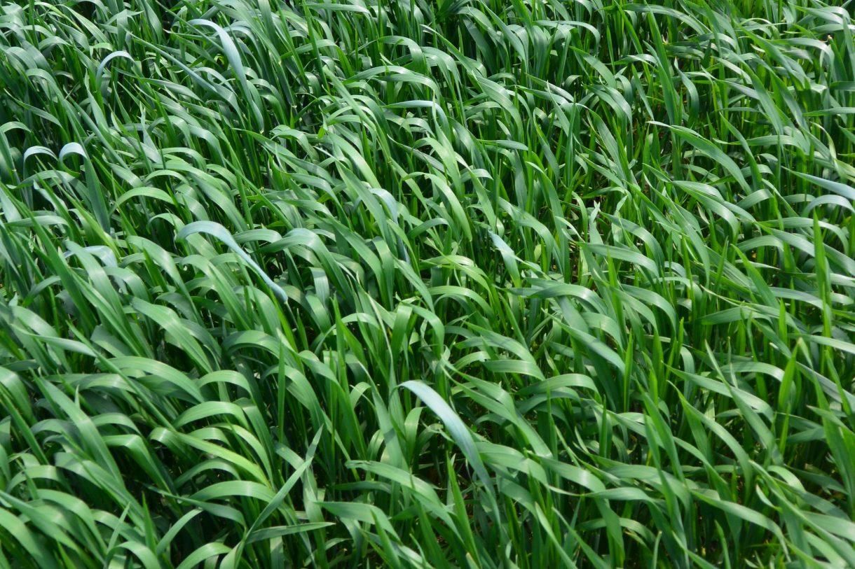 озима пшениця (дата посіву: 09.10.2016.)