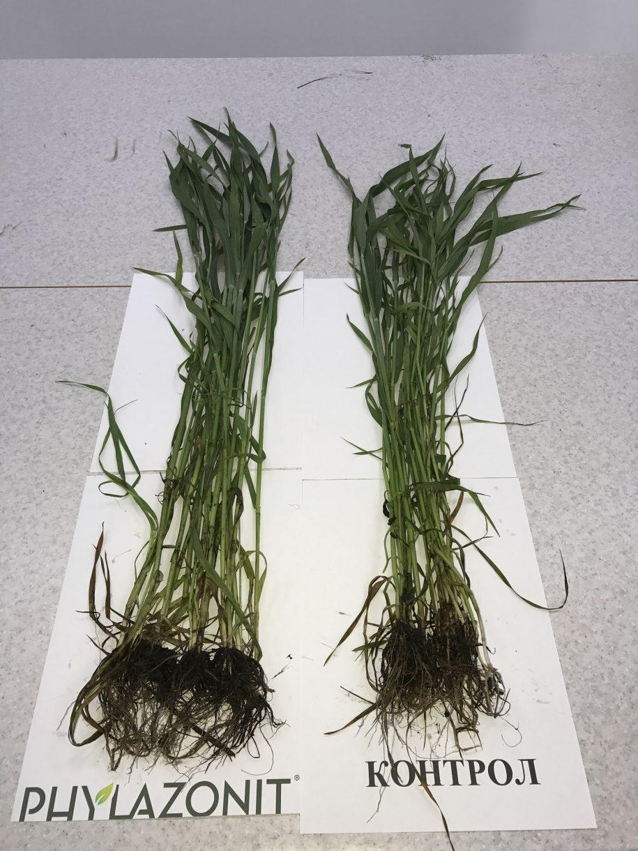 озима пшениця (дата посіву: 09.10.2017.)